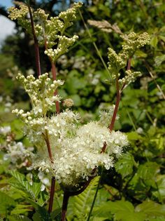 "Meadowsweet (Filipendula Ulmaria); fragrant flowered herb for moist soil. Flowers in summer, growing up to 1.2m/4'. In the Middle Ages it was strewn on the earth floor as an air freshener.  Other air fleshening strewn herbs at the time were Sweet Flag (Acorus calamus), Hyssop, Southernwood/Lover's Plant (Artemisia abrotanum), and Sweet Scented Bedstraw (Galium odoratum). If you'd like to get a feel for those times - watch the movie ""Perfume: The Story of a Murder""."