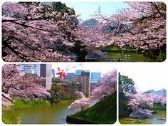 ☆共和AMEL日本の四季☆ またまた桜情報をお届けします! 今日は千鳥ヶ淵にいってきました^o^ 大勢の花見客が訪れ、 その喧騒の中で桜の花が 圧倒的なスケールで 咲き誇っていました! みなさんも是非おでかけくださいネ(^O^) <URL> http://www.kyowayakuhin.co.jp/(720×540)