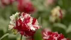 Tulip garden in Keukenhof... Biggest flower parade in the world :-)