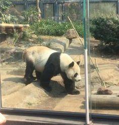 本日3月20日は上野動物園の無料開園日ですよ 連休の最終日出掛けてないなぁという方ぜひ足を運んでみてはいかがでしょうか 日本一歴史ある動物園の目玉はやっぱりジャイアントパンダでしょう ぜひご家族やお友だち同士で遊びにいってみてください()/ tags[東京都]