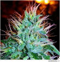 Trichomes photography!