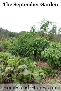 Take a tour of my September Garden - a mix of glorious bounty and total crop failures, fall crops and prepping for winter.   Homestead Honey