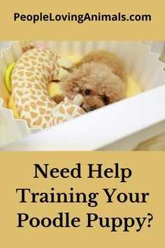 Doggy Dan's Perfect Puppy Program is the best way to train a Poodle puppy. It's super effective and affordable and covers all puppy training issues. Puppy Training, Dog Training