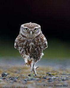 Austin Thomas - owl