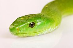 Africa's Most Dangerous Snakes: Eastern Green Mamba