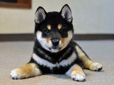 柴犬専門ブリーダーの子犬
