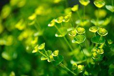 Euphorbia Seed Heads via Birdcage Walk
