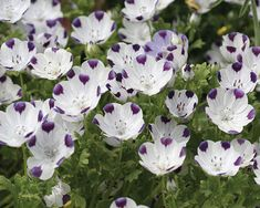 Five Spot Nemophila maculata is a annual wild flower that easily and quickly grows from wild flower seeds.