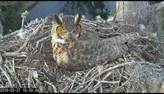 Savannah Owls: Landings Bird Cam: 18:30 2/27 The bright yellow color of the iris is due to the unusual xanthopterin pigment in the iris stroma.