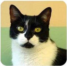 New York, NY - Domestic Shorthair. Meet Candy, a cat for adoption. http://www.adoptapet.com/pet/6852268-new-york-new-york-cat