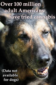 Dogs High on Weed   Facts About Marijuana: High Dogs Give 420 Crash Course (PHOTOS)