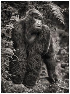 Photos nick brandt gorille