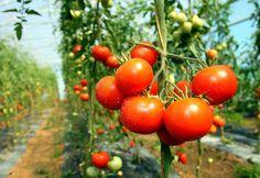 Paradiesische Paradeiser - Sechs Fakten über Tomaten, der man viele g'schmackige und gesunde Eigenschaften nachsagt: http://www.nachrichten.at/nachrichten/gesundheit/Paradiesische-Paradeiser;art114,1456159 (Bild: colourbox.de)