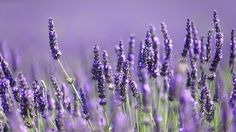 How to use lavender oil for anxiety instead of taking dangerous anxiety drugs - http://nifyhealth.com/how-to-use-lavender-oil-for-anxiety-instead-of-taking-dangerous-anxiety-drugs/