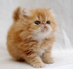 Omg I don't care if I'm allegeric, I want one of these and I want one now!! Munchkin Kittens!!