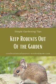 Are you wondering how to keep rodents out of the garden? Here are some simple tips to keep rats, moles and voles out of the garden naturally. What plants don't rats like? What can I plant to keep rodents out of the garden. Covent Garden, Organic Gardening, Gardening Tips, Gardening Books, Gardening Gloves, Hay Bale Gardening, Hydroponic Gardening, Aquaponics, Rat Repellent