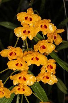 Dendrobium chrysanthum