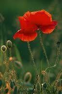 název:Mák setý (Papaver somniferum) čeleď:makovité (Papaveraceae)