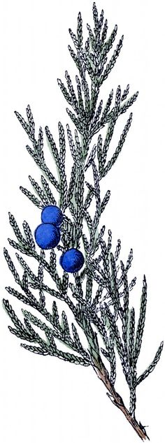 Free Vintage Botanical Clip Art Juniper, from The Graphics Fairy