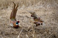 Common pheasant / Phasianus colchicus roosters fighting 2017 [2048x1363] [OC]