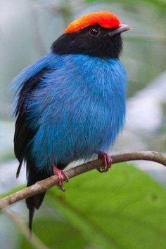 Se llama Bailarin Azul estas son aves selváticas, arborícolas, tienen voces muy potentes y se caracterizan por realizar complicadas ceremonias nupciales para cortejar a las hembras, de allí viene su nombre