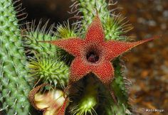 Huernia Hairy (Huernia Pilansii) Tallos multifacéticas (20-24 caras) de altura 2.4 cm, 1,5 a 2,0 cm de diámetro. Las hojas están dispuestas en las filas espiral madre, con verrugas que terminan con pelos finos.  Las flores son en forma de campana, doblada hacia atrás los pétalos alrededor de 1 cm de largo, glabras fuera, por dentro con los brotes de color rojizo y manchas de color amarillo pálido.