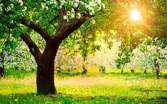 apple tree - Google Search