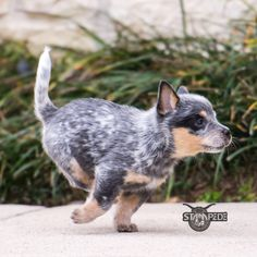 Australian Cattle Dog | Blue Heeler | Puppy | Dogs Its my baby :)