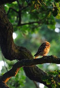 """Owl: """"I like this neck of the woods."""""""