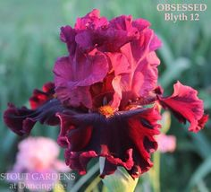 Iris OBSESSED #GardenPhotography
