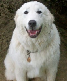 Snowball the Great Pyrenees Pictures 911754
