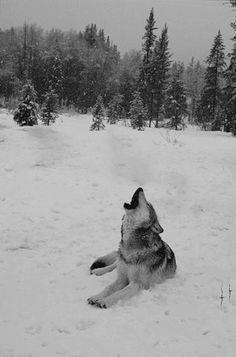 Island Girl, Animals Beautiful, Husky, Beautiful Places, Wolf, Gifs, Check, Photography, Wild Ones