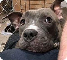 Pictures of Amber a Pit Bull Terrier Mix for adoption in Berwick, ME who needs a loving home.