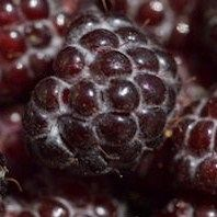 Blackberries - 10 weird and wonderful facts Best Blackberry, Raspberry Plants, Food Lion, Weird And Wonderful, Fruit Trees, Berries, Black Hawk, Yummy Food, Apple