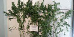 ΦΩΤΟ: Συνελήφθη 48χρονος με αγάπη για την κηπουρική και την καλλιέργεια... δενδρυλλίων!