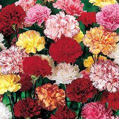 Buy Hardy Mixed Carnations at Michigan Bulb