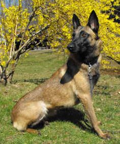 - Only dog navy seal use Berger Malinois, Belgian Malinois Dog, Belgian Shepherd, Shepherd Dog, Malinois Shepherd, Pastor Belga Malinois, Belgium Malinois, Most Beautiful Dogs, Paws And Claws