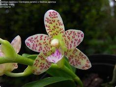 Sedirea japonica x Vandopsis parishii - Orchideen der Schwerter Orchideenzucht