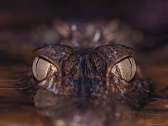 The Eyes of a Crocodile Seen Just Above Water Level Photographic Print by Mattias Klum at AllPosters.com