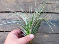 Another favorite Air plant,  Stricta Soft Leaf, $6.00 on Etsy