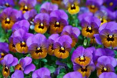 A field of violet pansies - Viola tricolor hortensis.