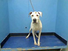 """GONE RIP 8/20/13 Manhattan BUSTER A0975487 MALE WHITE/BROWN STAFFORDSHIRE MIX 8yrs Earning a very coveted AVERAGE rating,called """"friend calm & relaxed""""  ACC has decided that Buster has no more time to find a new family. Such a great old guy!  Are you that someone who has a place in your home and your heart for wonderful Buster? If you are, step up now to foster or adopt Buster. But do it now—tomorrow ACC will dash all of Buster's hopes and he'll be gone forever!"""
