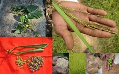Medicinal Rice based Tribal Medicines for Diabetes Complications and Metabolic Disorders (TH Group-773) from Pankaj Oudhia's Medicinal Plant Database. Encyclopedia of Tribal Medicines by Pankaj Oudhia. #TribalMedicines #Biodiversity #Ethnobotany