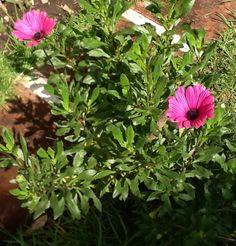 #flores #margaritas