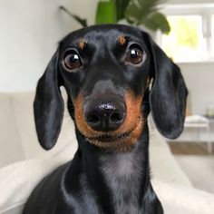 Uploaded by ℓυηα мι αηgєℓ ♡. Find images and videos on We Heart It - the app to get lost in what you love. Dapple Dachshund, Wire Haired Dachshund, Dachshund Puppies, Weenie Dogs, Dachshund Love, Cute Puppies, Cute Dogs, Daschund, Doggies