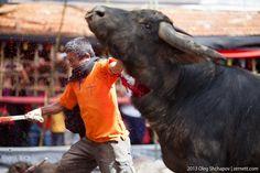 Tana Toraja buffalo kilings on funeral ceremony