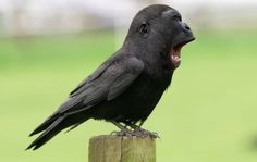 Gorilla Bird!