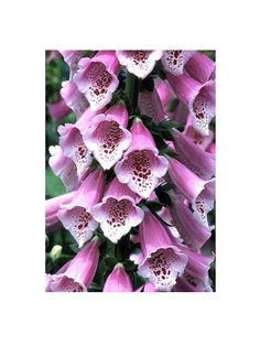 1000 images about bell shaped flowers on pinterest for Can you get purple roses