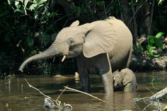 The African forest is a forest-dwelling species of elephant found in the Congo Basin. It is the smallest of the three extant species of elephant, but also the third-largest living terrestrial animal. African Forest Elephant, Asian Elephant, Elephant Love, Elephant Facts, Top 10 Deadliest Animals, Paises Da Africa, West Africa, Elephant Species, Rare Animals