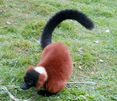 Red Ruffed lemur, love them so much and this one is especialy cute